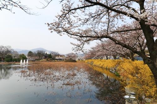 흩날리는 벚꽃 잎에 취해보아요!