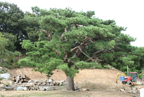 김천의 기상을 보여주는 명품 소나무